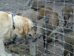 Dana mit Wildschwein im August ´99